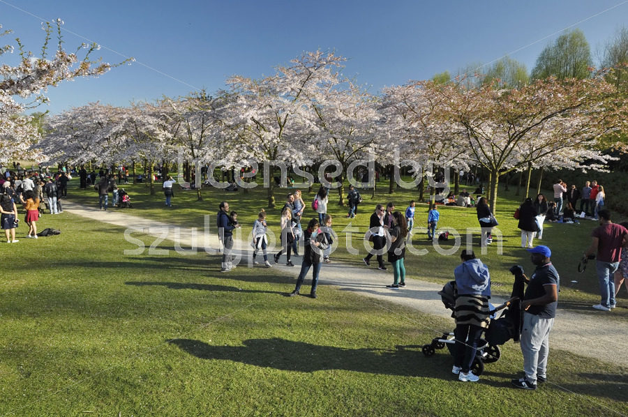 Spring in the Cherry blossom garden - Adam Szuly Photography