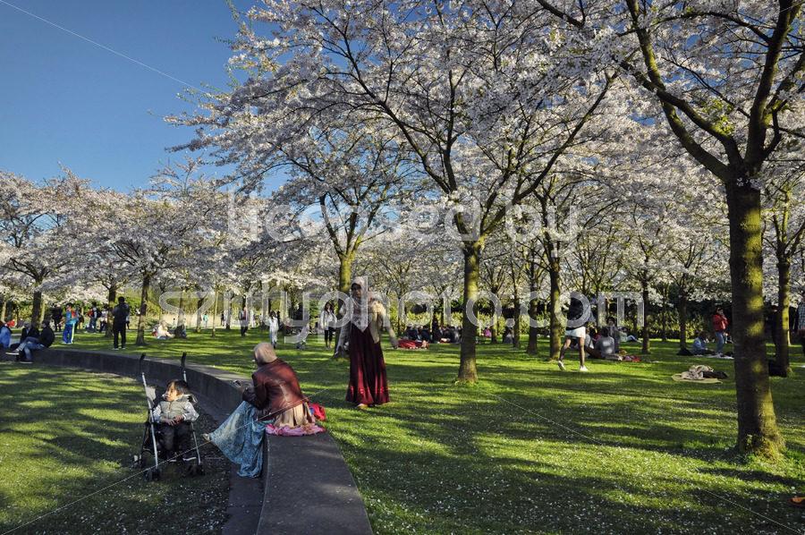 Spring in the Japanese cherry blossom garden - Adam Szuly Photography