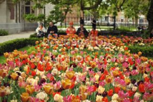 Amsterdam garden tulips - Adam Szuly Photography