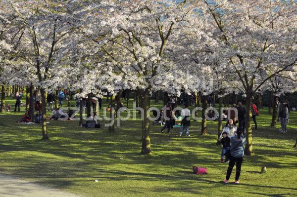 Cherry blossom trees in the Japanese garden - Adam Szuly Photography