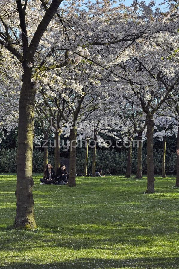 The Japanese cherry blossom garden - Adam Szuly Photography