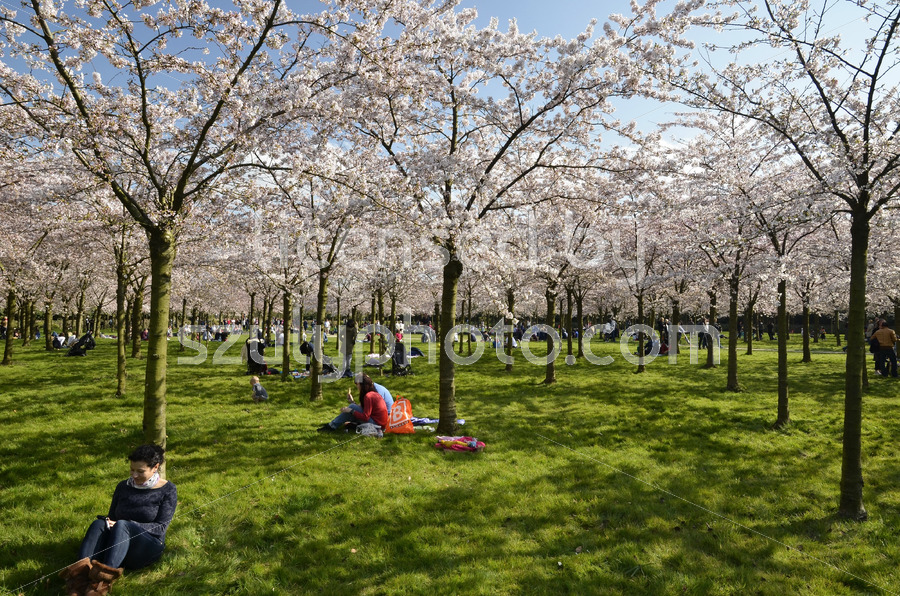 The cherry blossom park in the Amsterdam Forest - Adam Szuly Photography