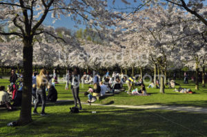 Visitors under the cherry blossom trees - Adam Szuly Photography